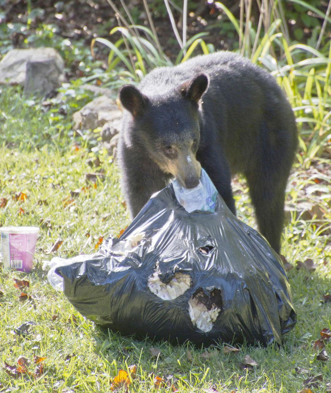 bear ripping into trash bag (photo)