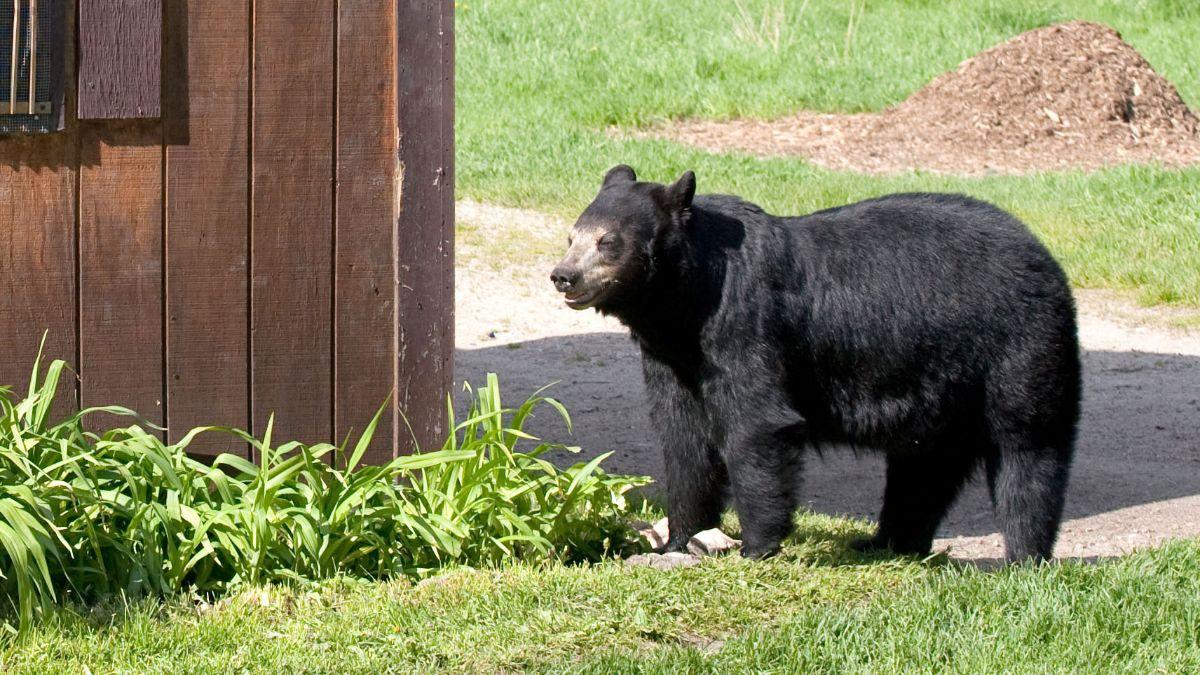 bear in the yard (photo)