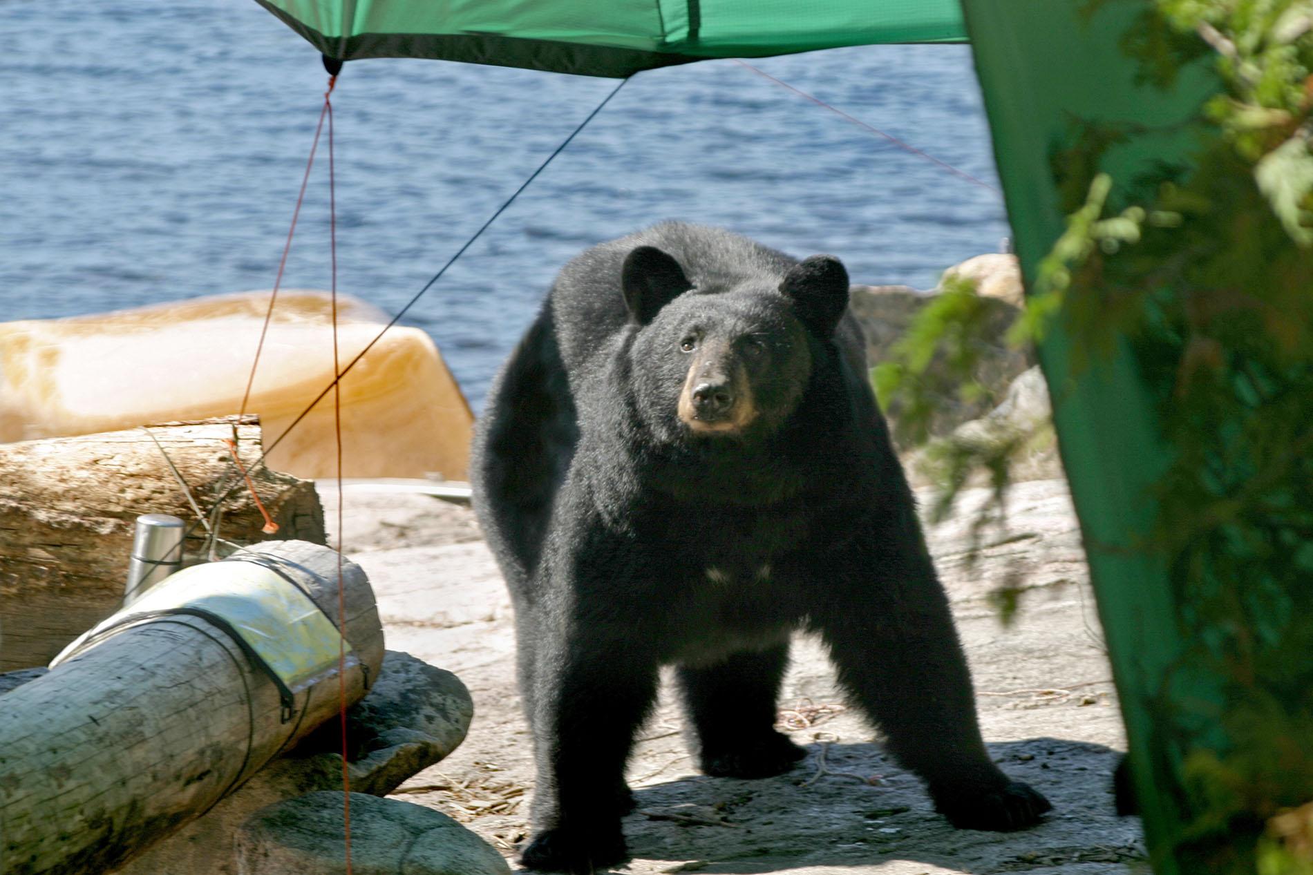 bear at campsite