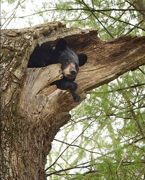 bear denning up a tree