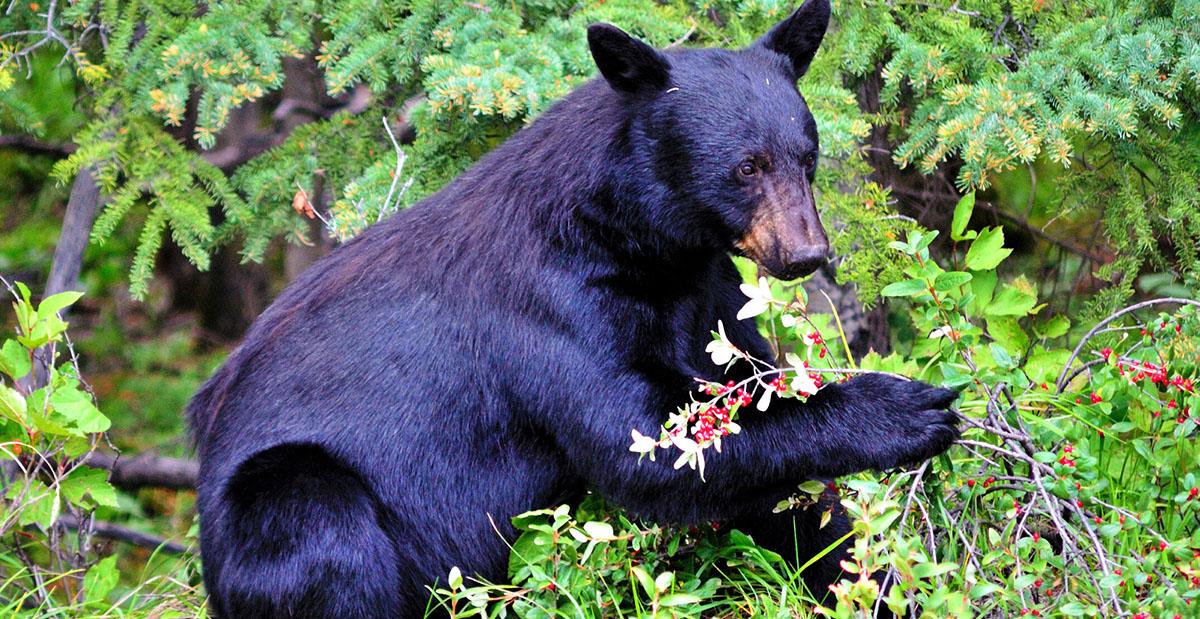 black bear eating berries in the wild (photo)