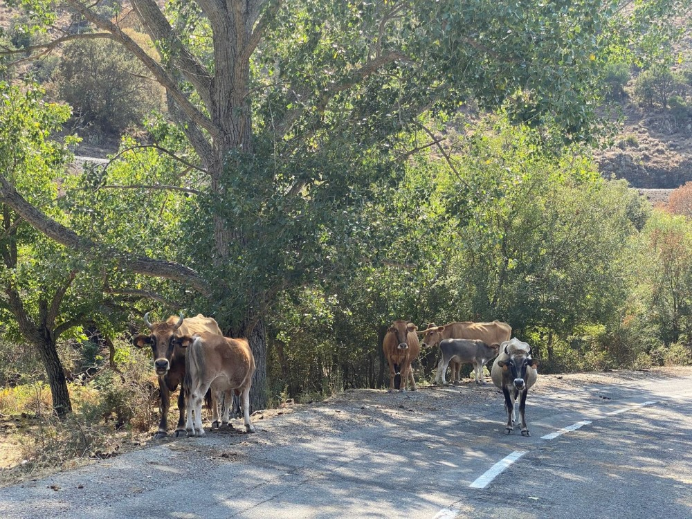 Cows Along the Road from Corte