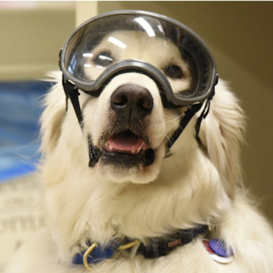 A dog wearing safety goggles