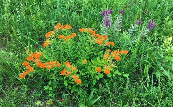 Butterfly Milkweed and Leadplant - Photo by Pam Holy