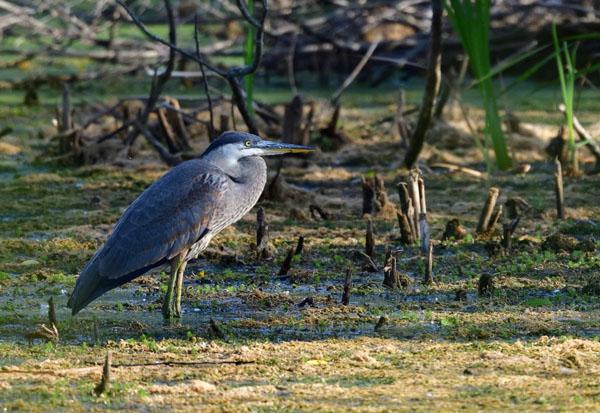 Great Blue Heron - Photo by Dana Garrigan