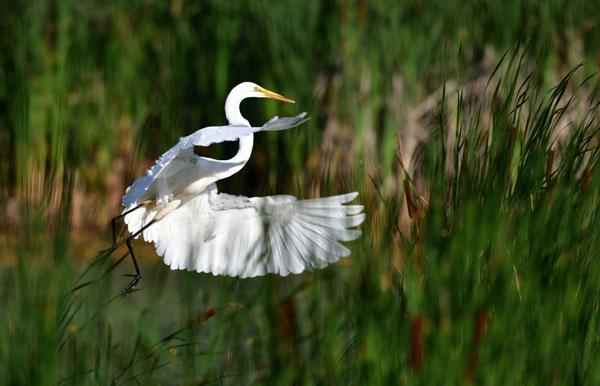 Great Egret - Photo by Dana Garrigan