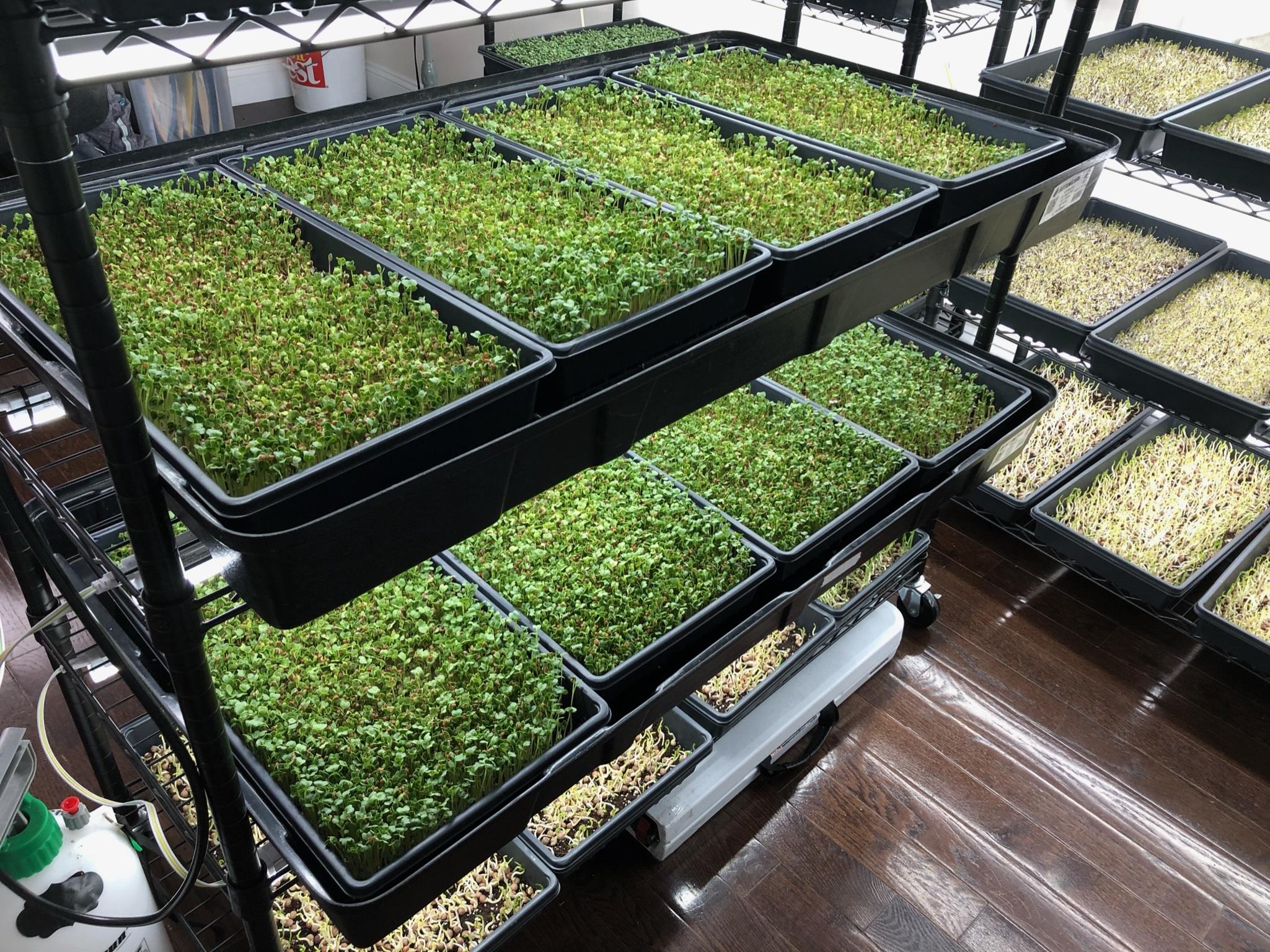microgreens farm