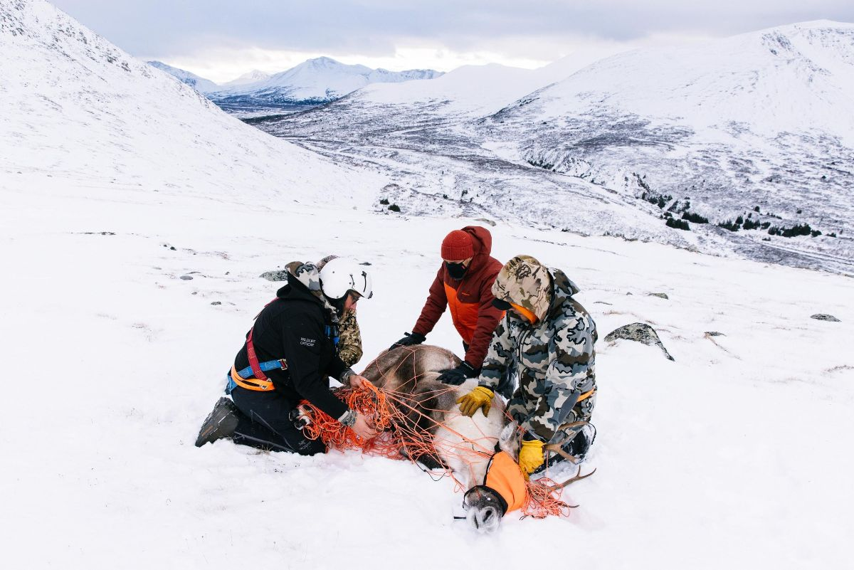 A team holds down a caribou as they blindfold it to begin the process of collaring and collecting samples
