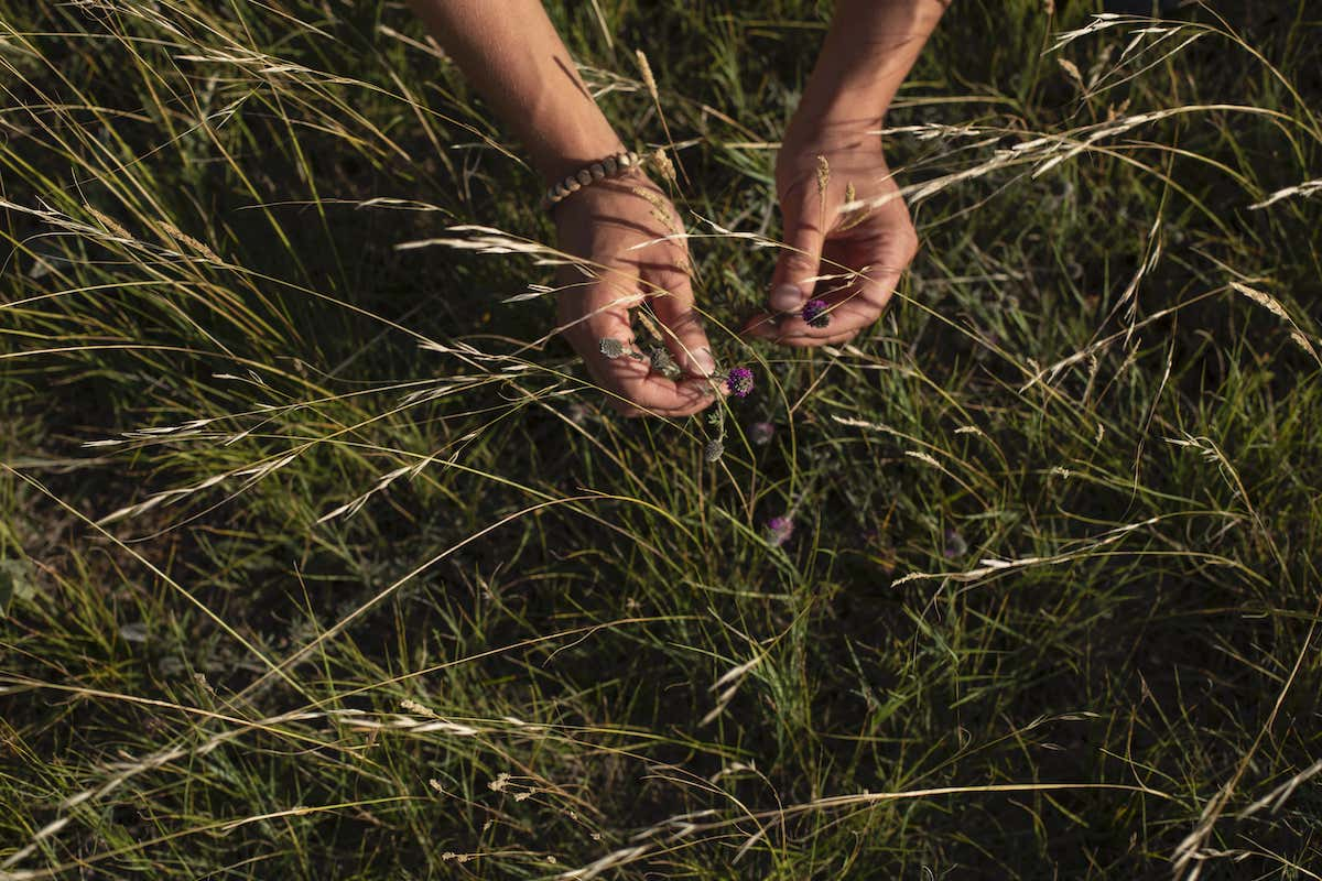 A person holds Purple Prairie Clover in Alberta grasslands