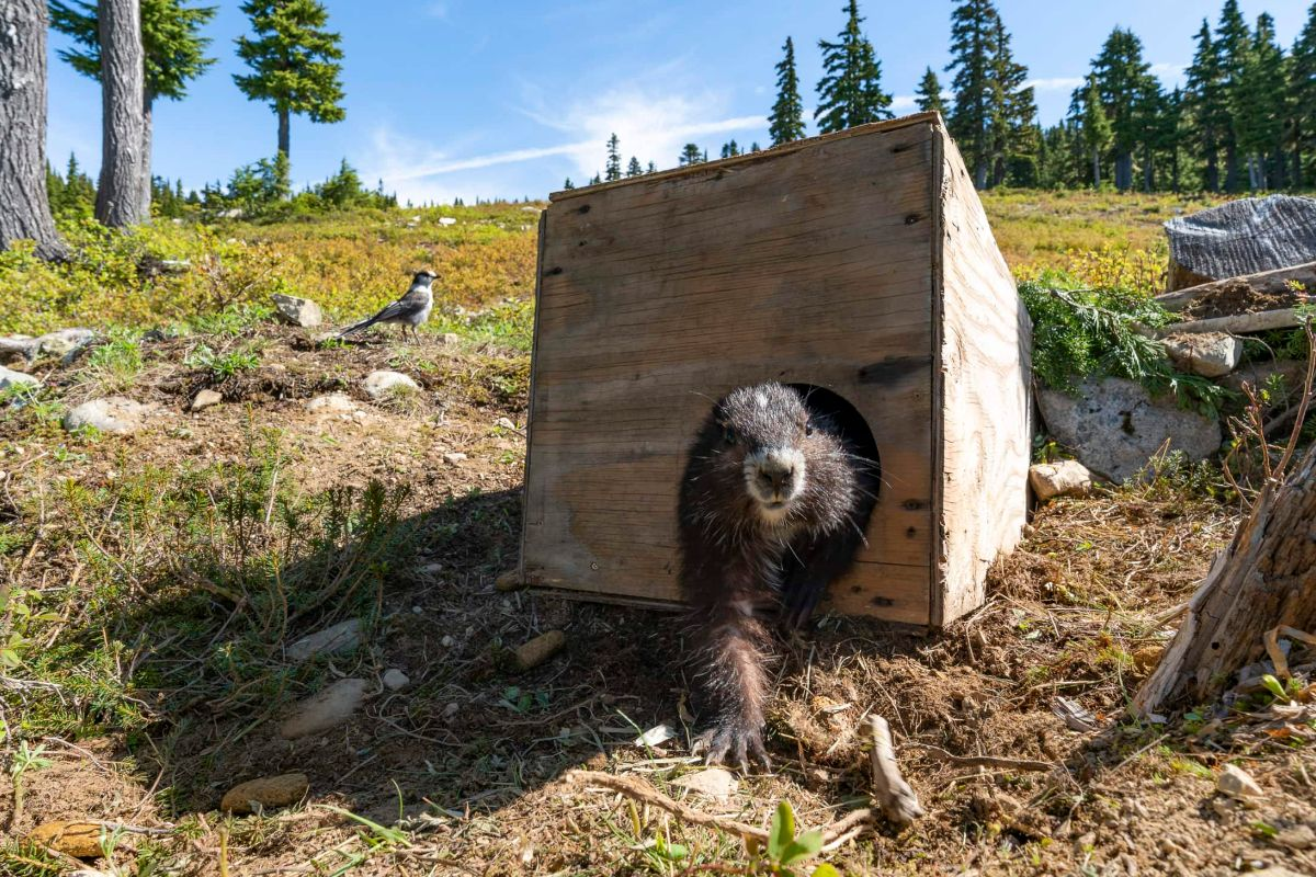 marmot poking out of plywood box