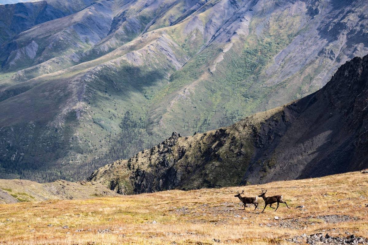 Caribou in Yukon's Tombstone Territorial Park