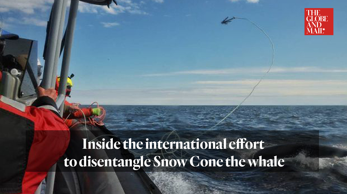 Globe and Mail article: Inside the international effort to disentangle Snow Cone the whale