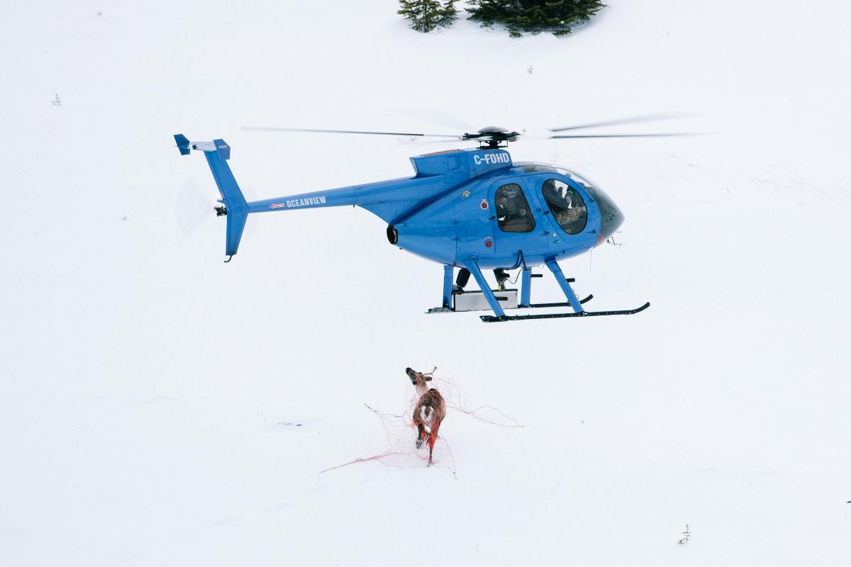 A caribou is captured with a net gun, shot from a helicopter, for a collaring program in Tahltan territory