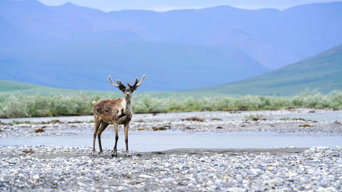 caribous standing near water with mountains in the background