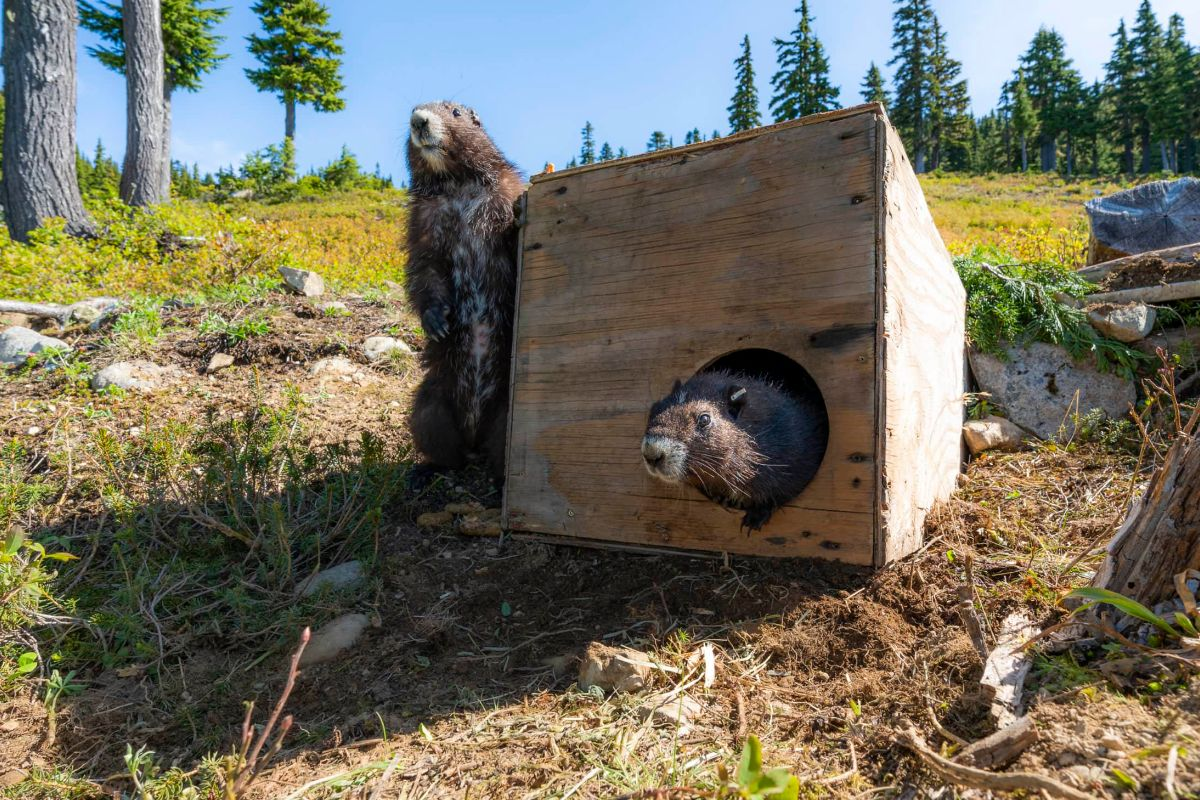 marmots poking out of plywood box