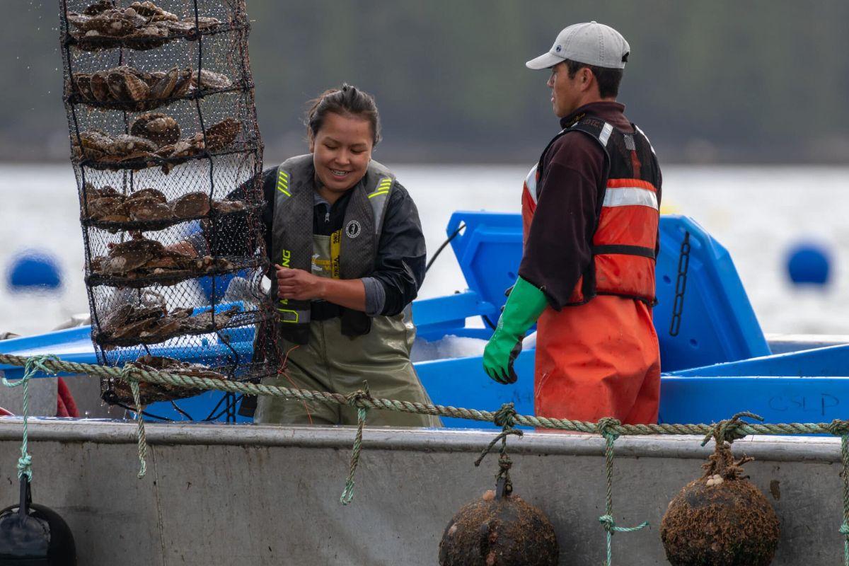 Coastal Shellfish staff lift a lantern net of scallops out of the water.