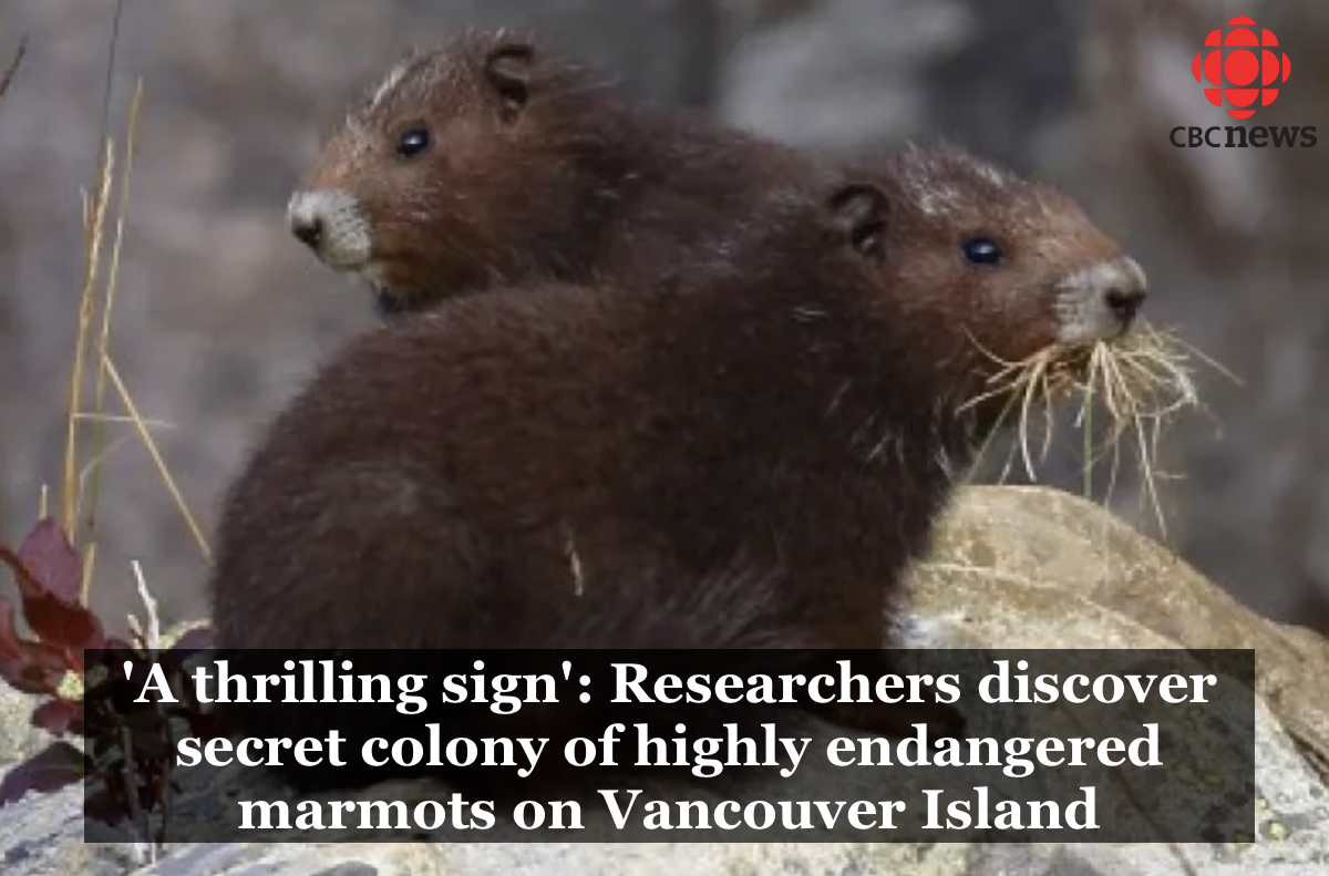 CBC article: 'A thrilling sign': Researchers discover secret colony of highly endangered marmots on Vancouver Island