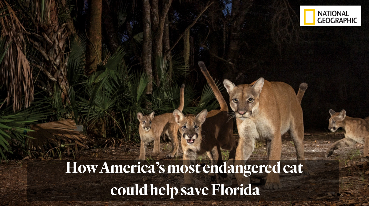 National Geographic article (paywalled): How America's most endangered cat could help save Florida