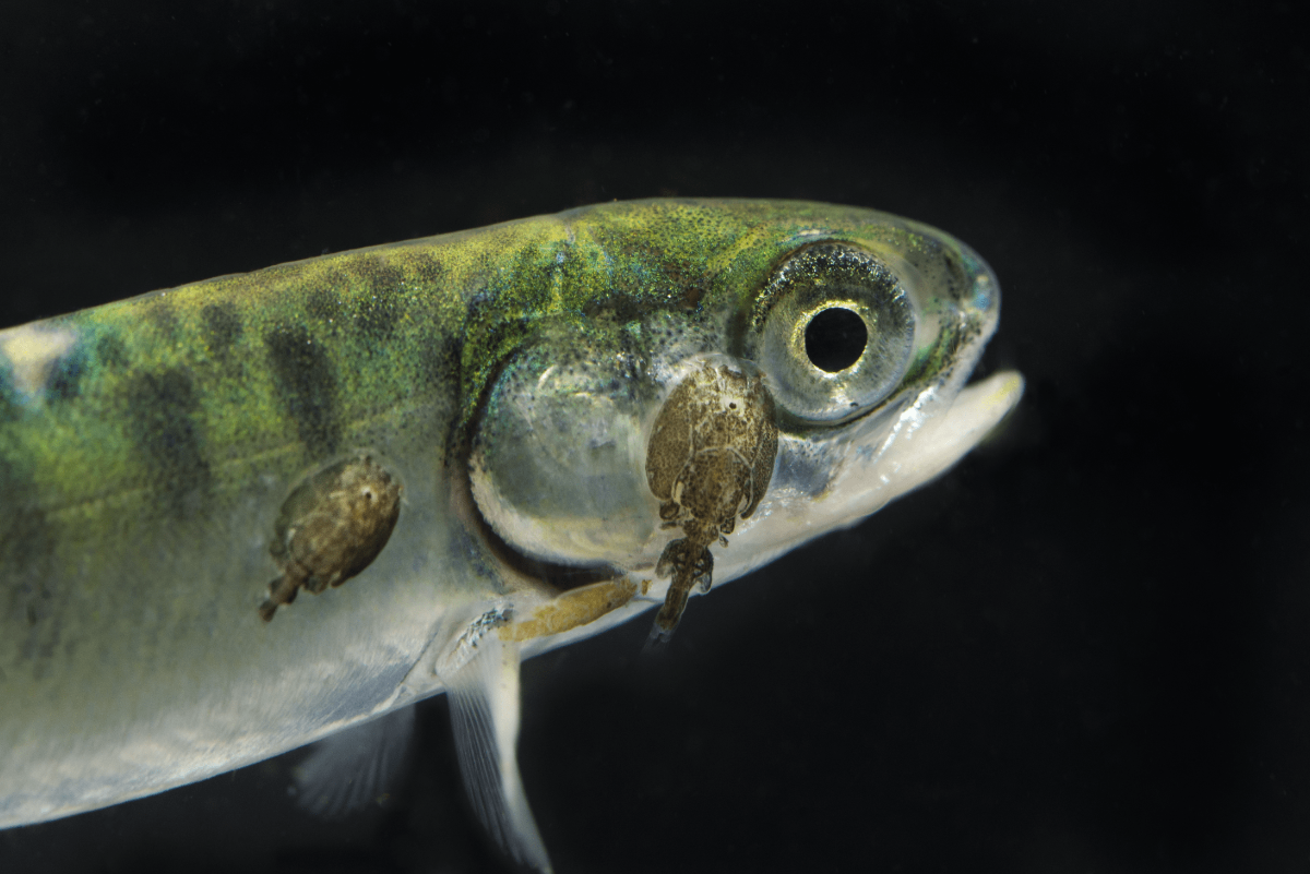 Sea lice are seen on a juvenile wild salmon from Clayoquot Sound