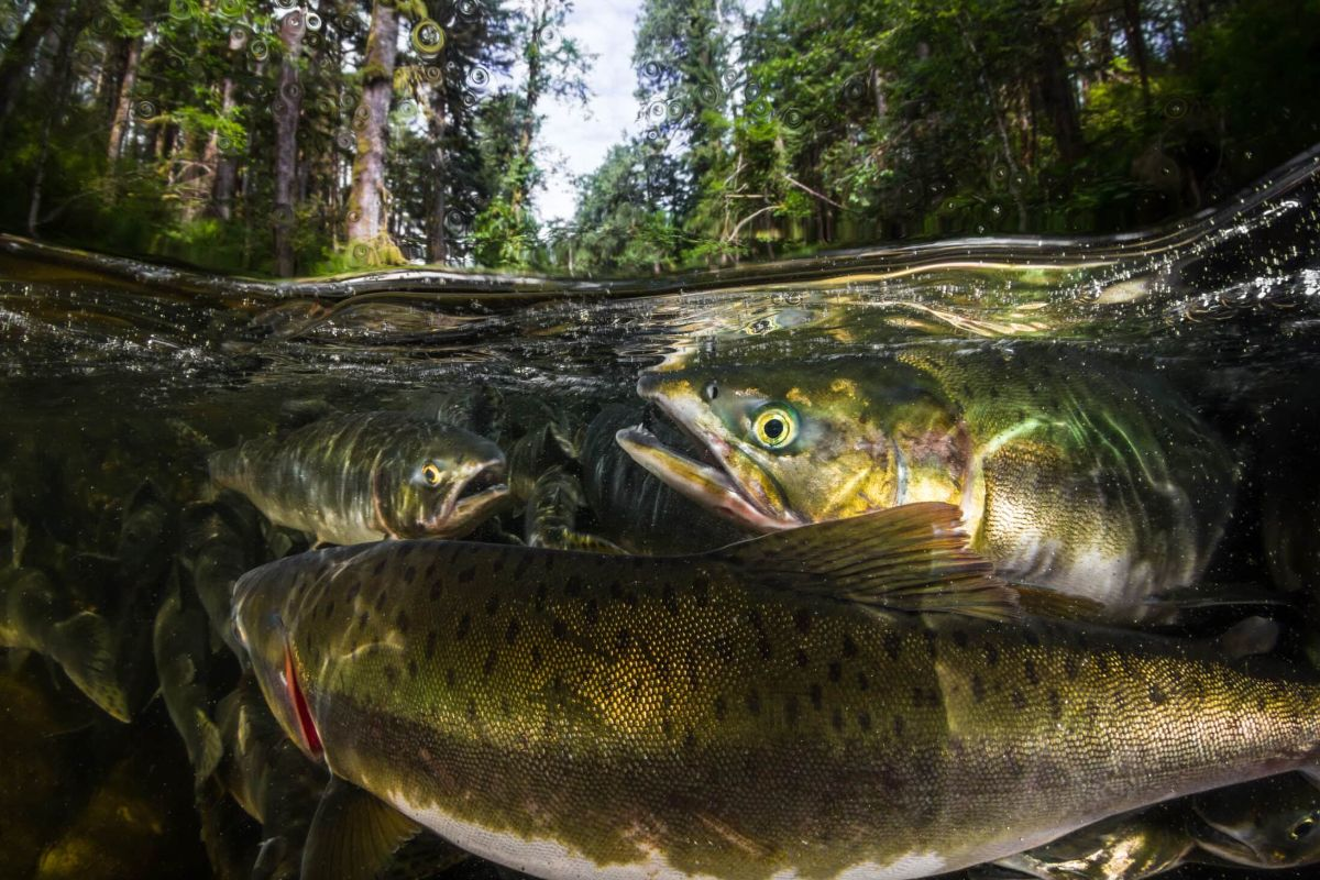underwater view of some pink salmon