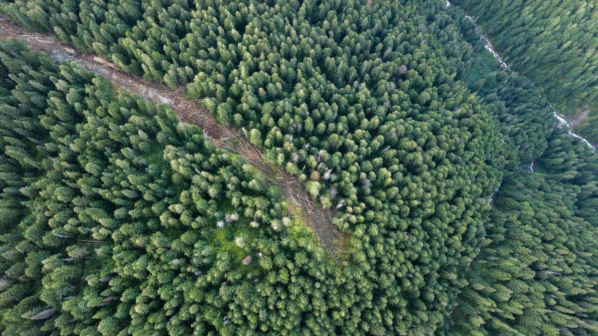 B.C. old-growth cedar logging