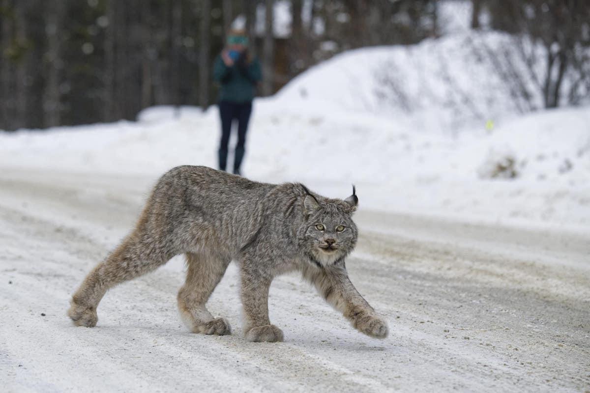 A lynx crosses Fish Lake road outside Whitehorse