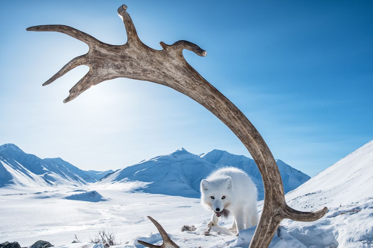 Arctic fox feasts on carcass of caribou in mountains of Arctic National Wildlife Refuge