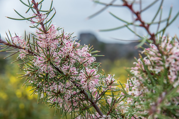Wildflowers in the Grampians image supplied by Visit Victoria