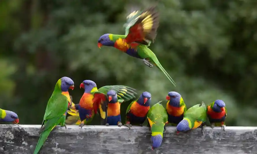 A group of rosellas
