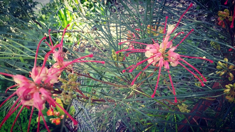 Native red flowers
