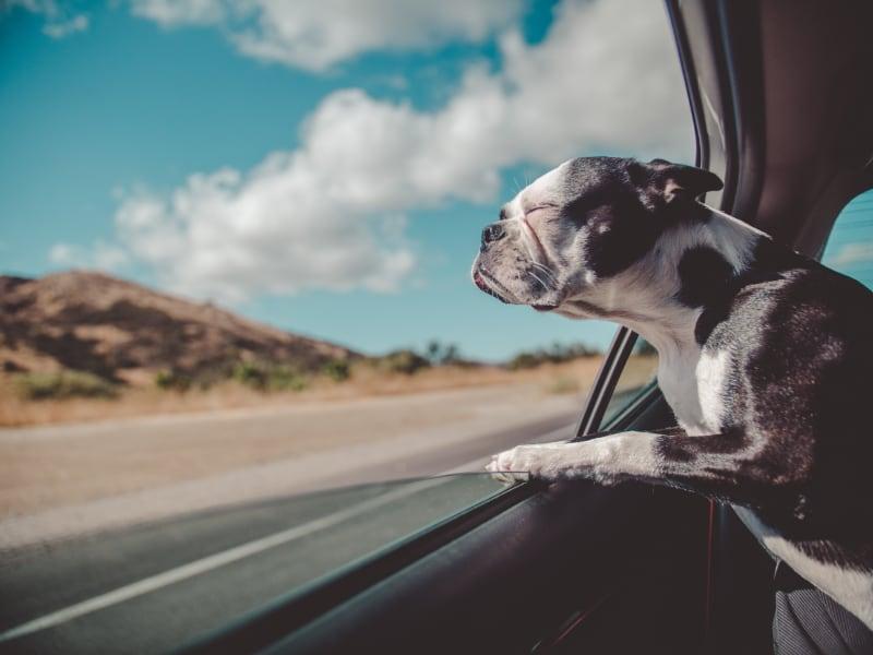 Bull dog with head outside car window
