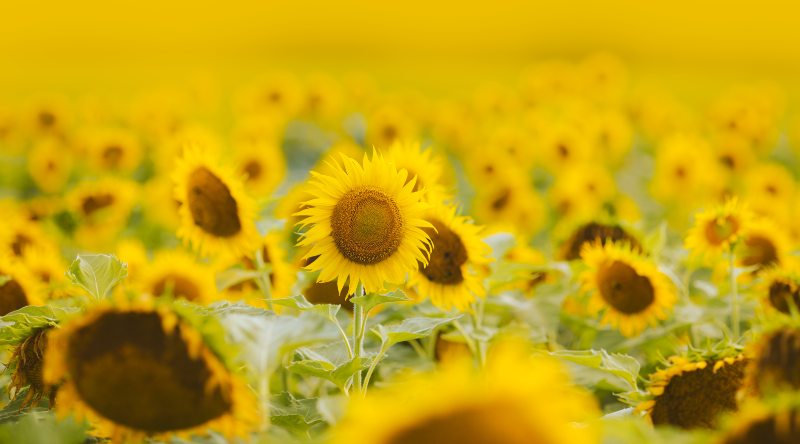 cos we need a field of sunflowers right now in VIC