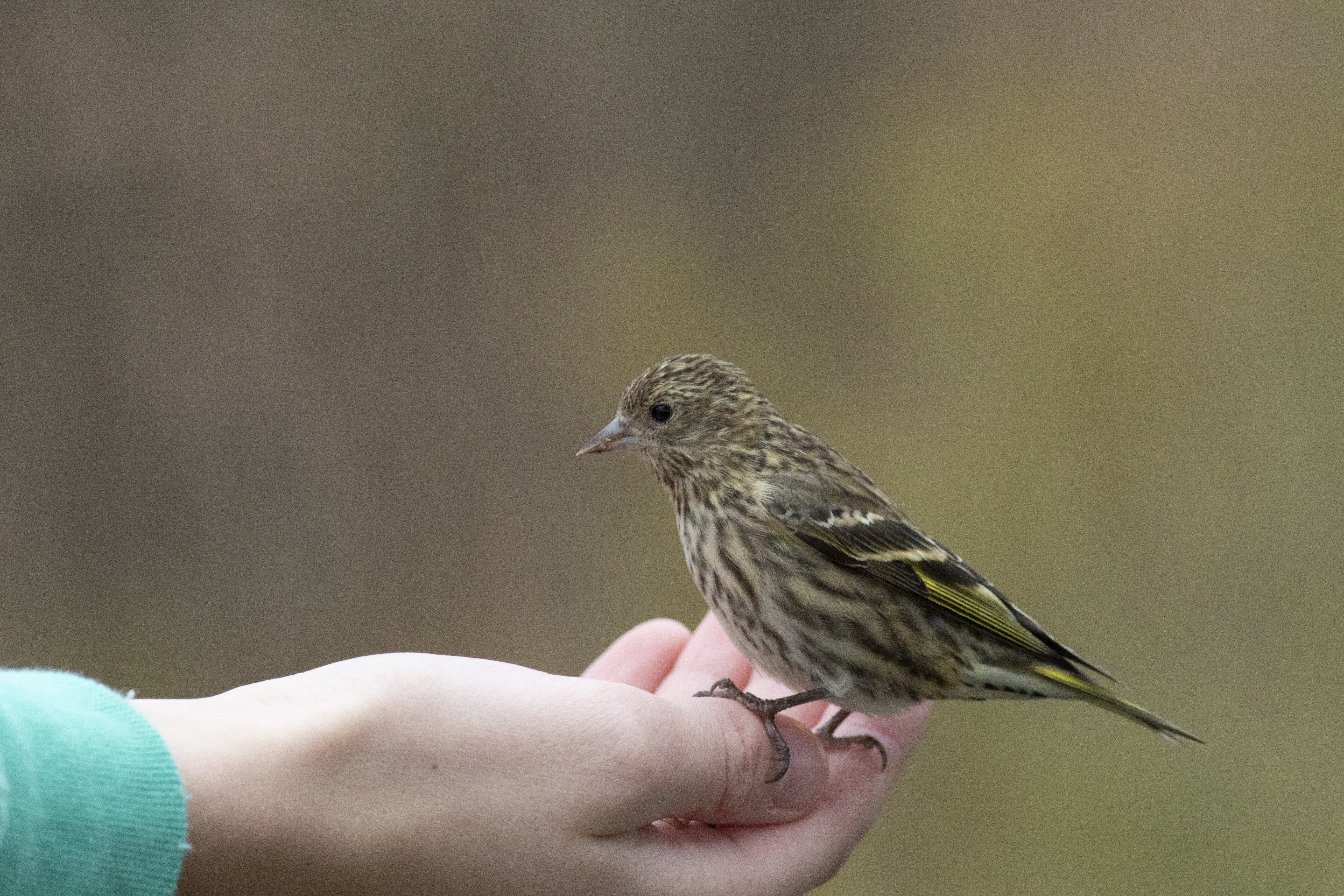 An Ashland Hawk Watch visitor hand feeds a Pine Siskin on 25 October.