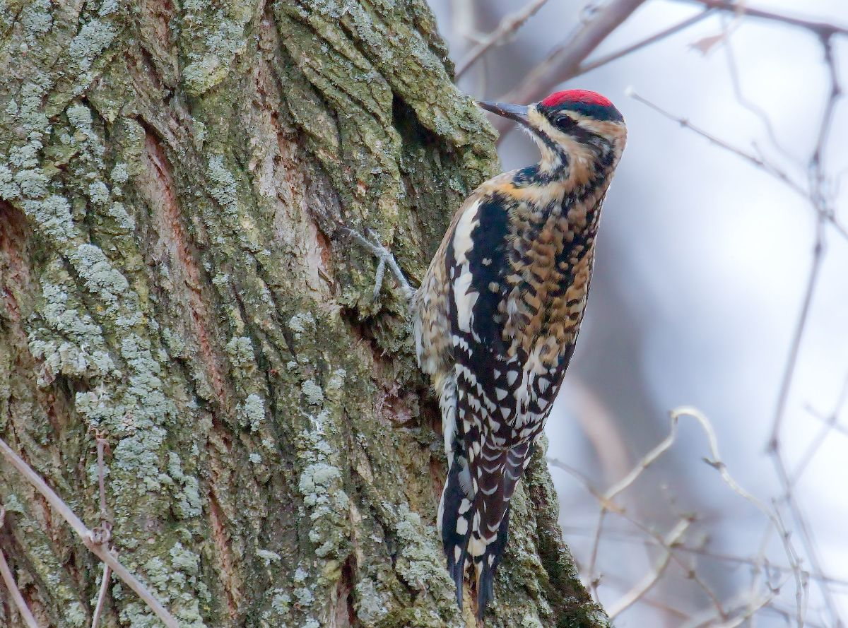 Yellow-bellied sapsucker by Mike Moore