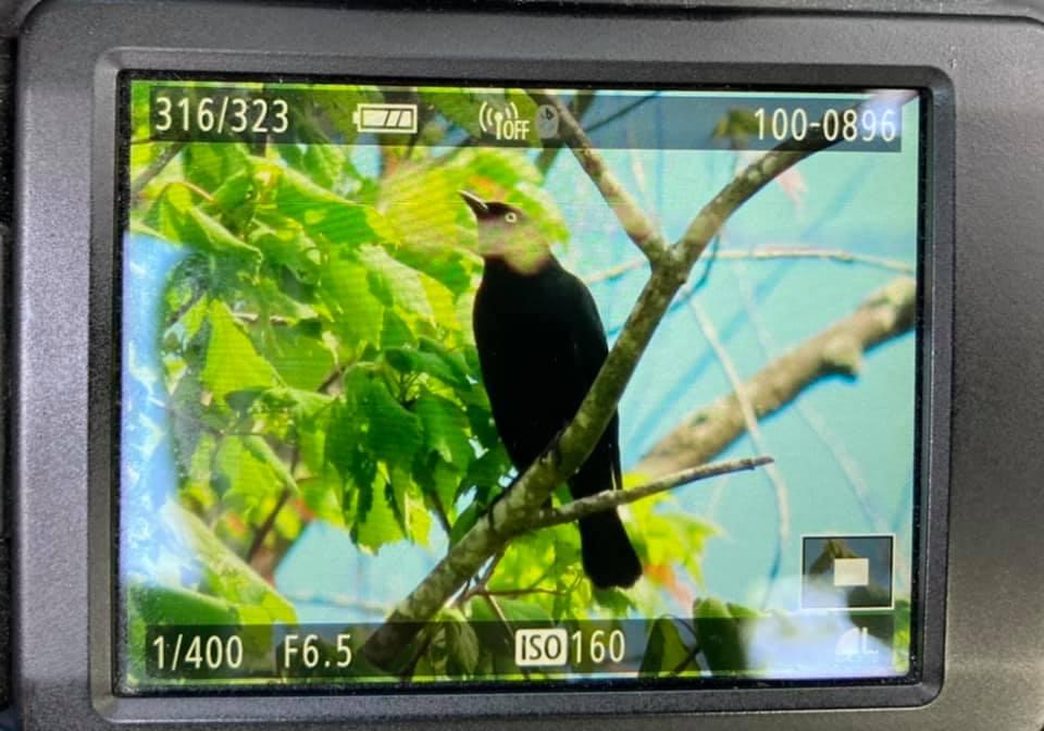 Rusty Blackbird at the Great Cypress Swamp