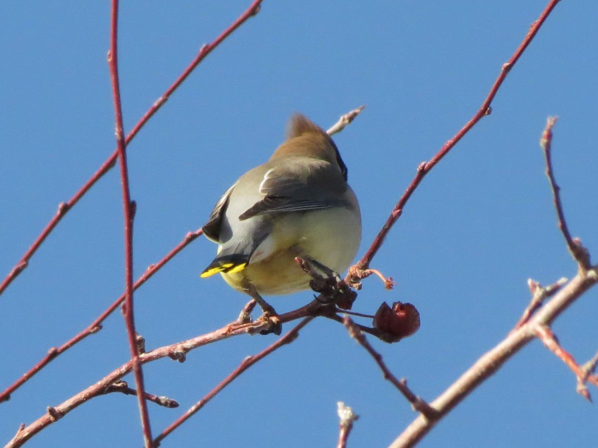The rear view of a bird in a fruit tree. The bird is a gradient of warm brown to yellow cream from head to tail, and the tail is tipped with yellow and black. A faint line of a black mask is visible on the side of the face. What bird am I?