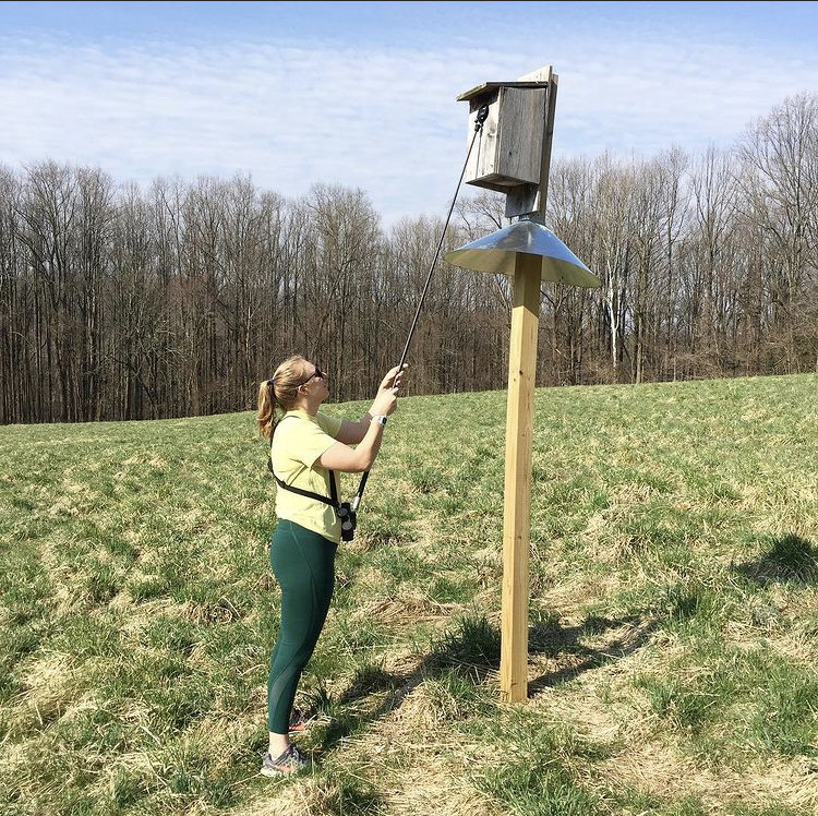 Ms. Krenitsky monitoring an American kestrel nest box at Auburn Valley State Park.