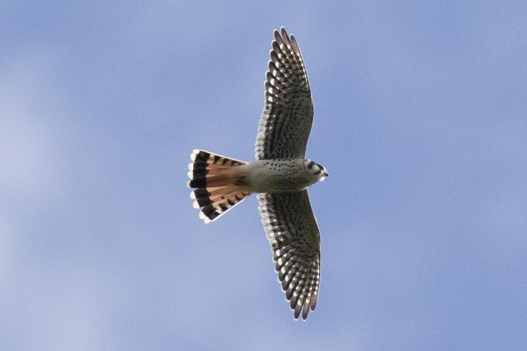 American Kestrel in flight by David Brown.