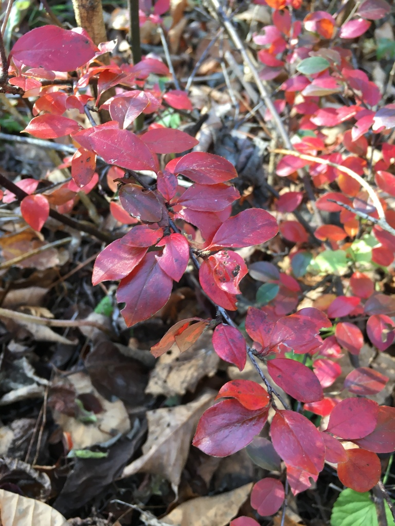Japanese Barberry by kat_the_nat on iNaturalist.