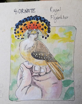 A drawing of a Royal Flycatcher in a bander's hand, drawing done by Katie Bird.