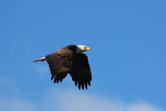Bald Eagle by Scott Northey