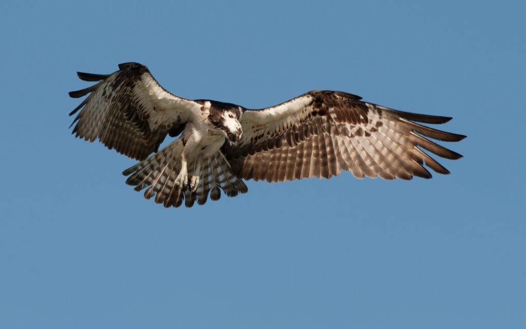 Osprey by Hank Davis
