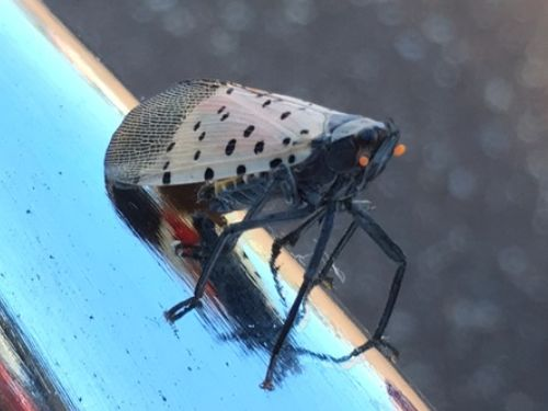 Spotted lanternfly. Photo by atomiclizard.