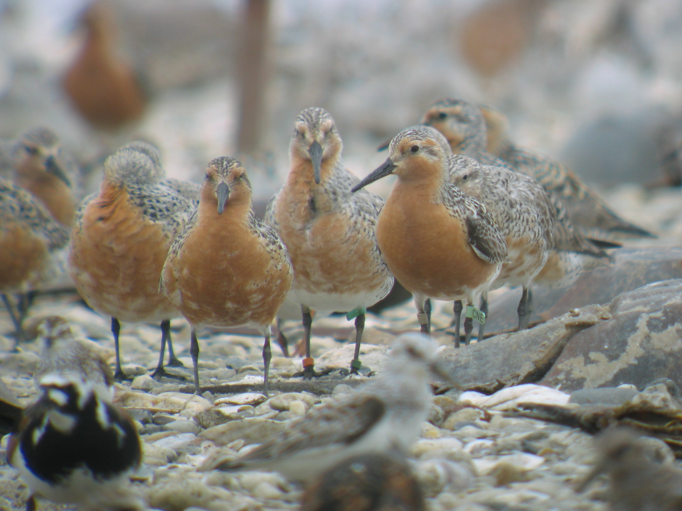 Red Knot by Jean Woods.