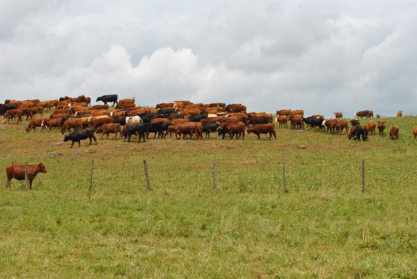 Managed Grazing of Cows