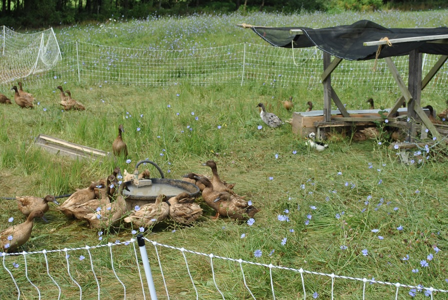 Ducks Watering Shade & Poultry Netting