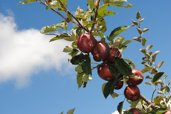 Graves Mountain Apple Orchard