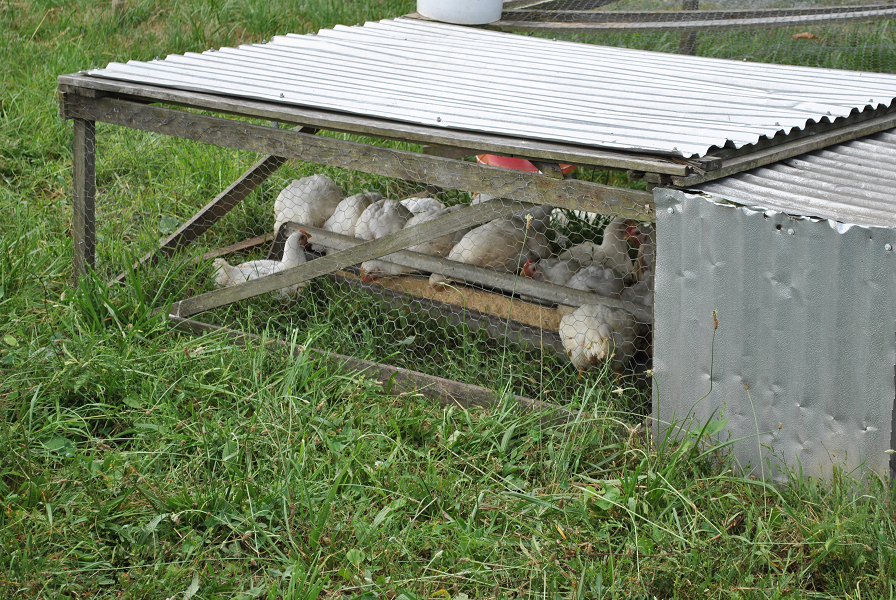 Broiler Shelter With Cornish Cross Chickens
