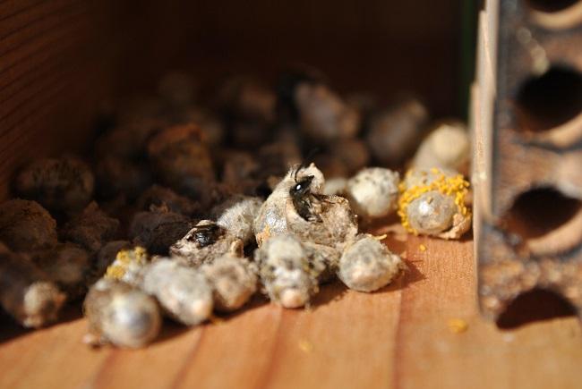 Mason Bee Emerging