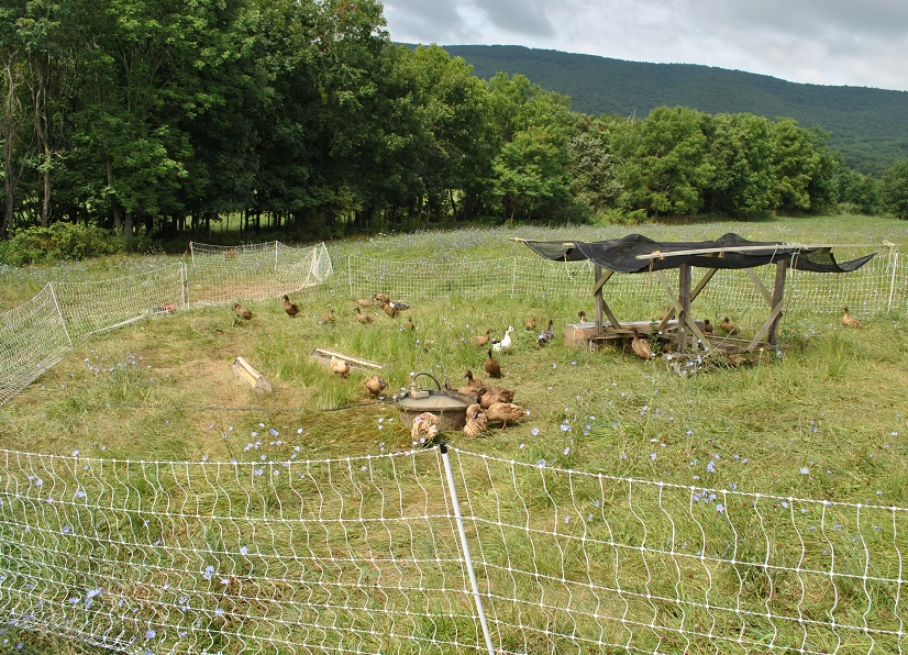 Ducks At Polyface Farm